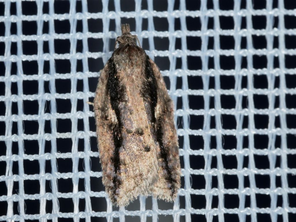 Acleris umbrana