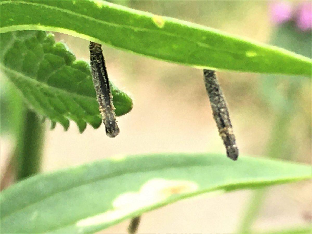 Coleophora saponariella